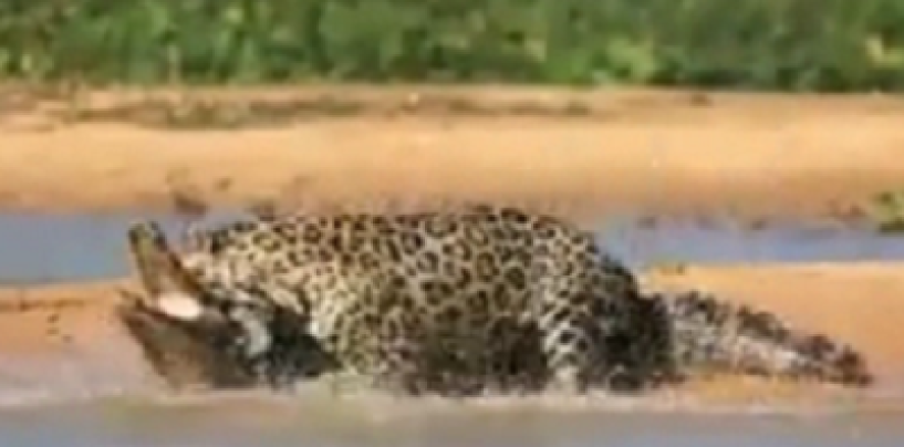 Jaguar Attacks And Eats A Crocodile In The Water To The Amazement Of Onlookers! You Gotta See This! (Video)